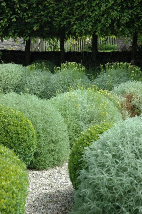 Santolina Topiary