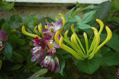 Honeysuckle and Roses