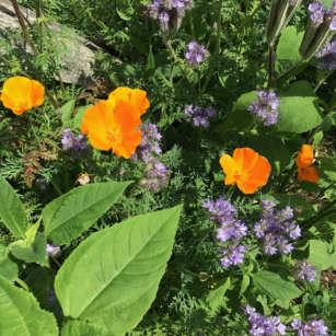 Califonian Poppy