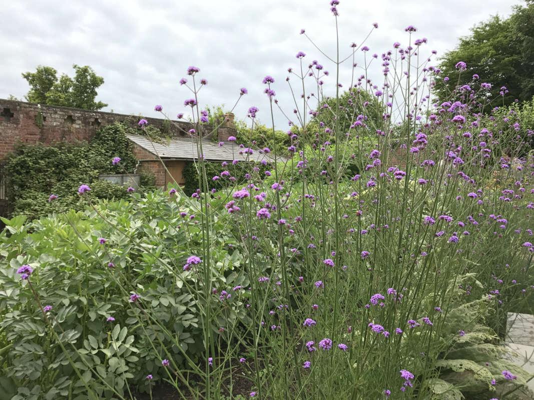 walled-garden-verbena