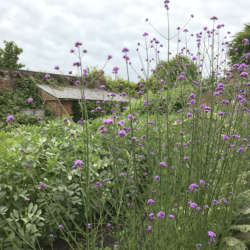 walled-garden-verbena