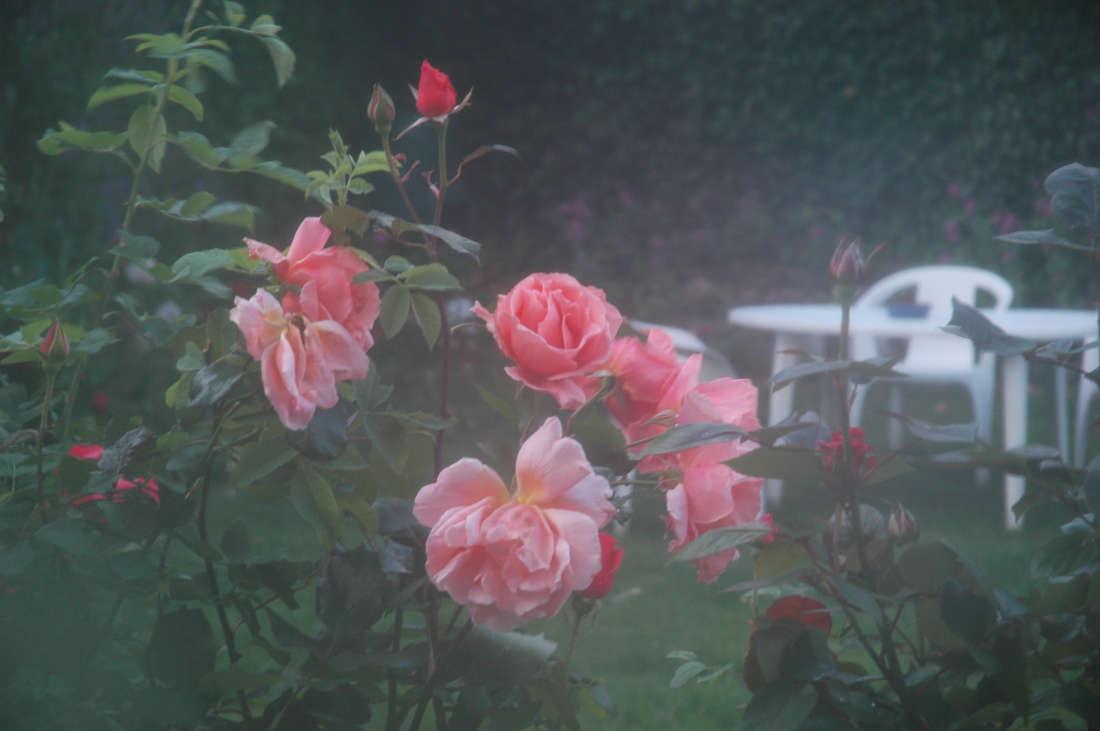 Hazy Garden Rose
