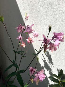 pink-aquilegia