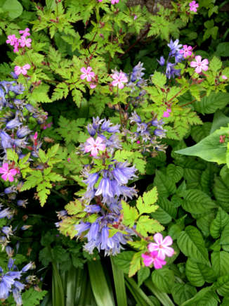 Geranium and Bluebell