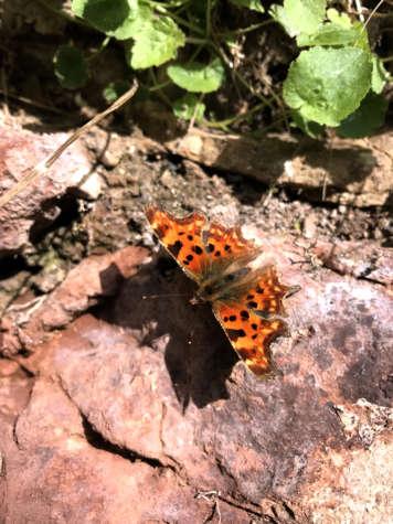 comma-butterfly 1