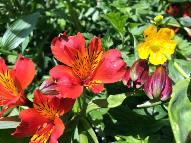 alstroemeria-and-ranunculus