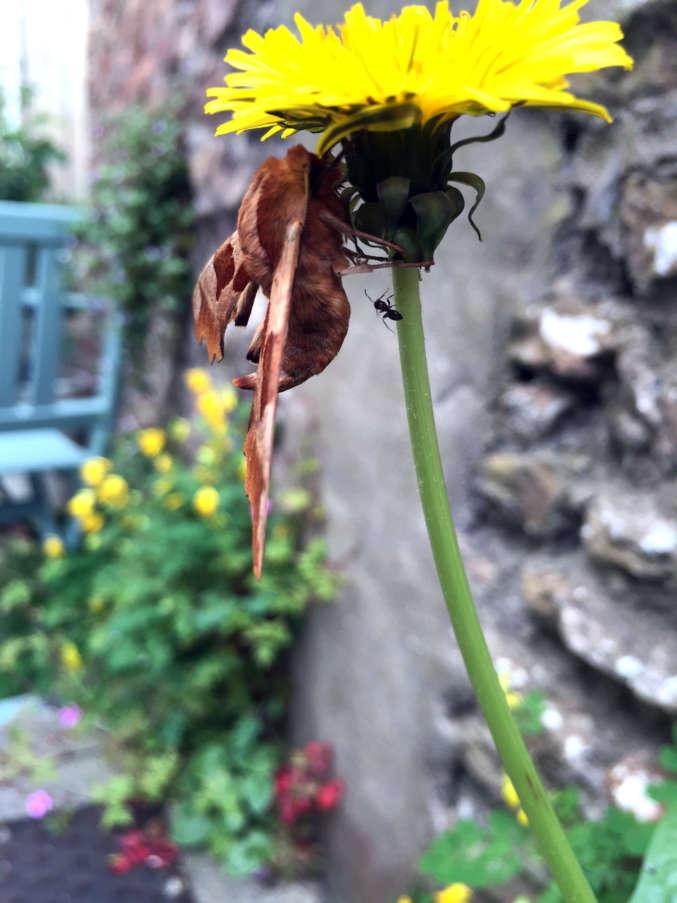moth-ant-dandelion
