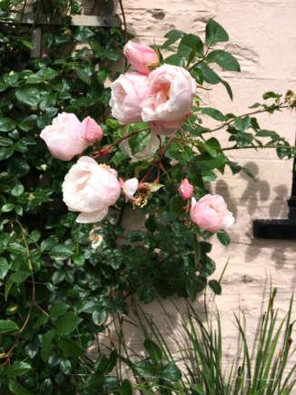 climbing-rose 'generous gardener'