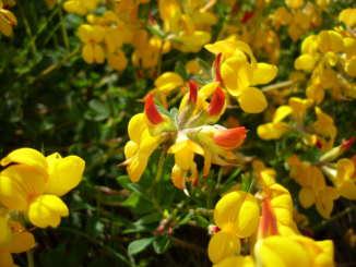 Lotus Corniculatus10