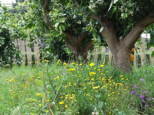 Meadow and Orange Trees