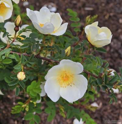 Roses In Rose Garden