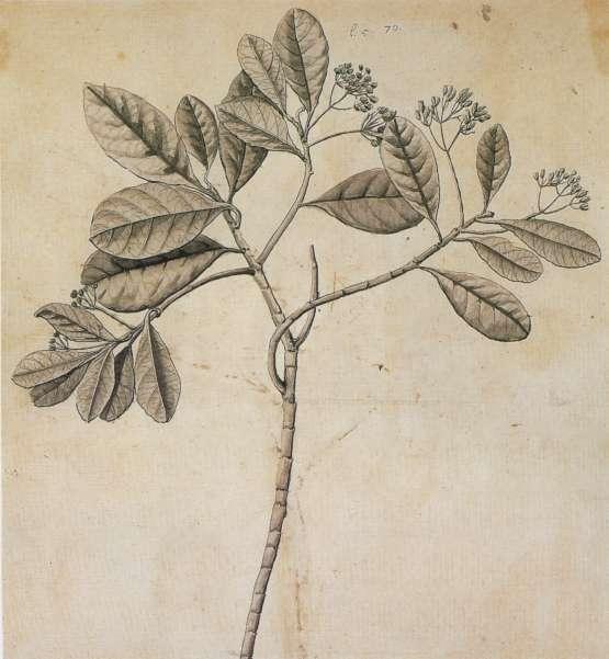 Laurifolia Arbor